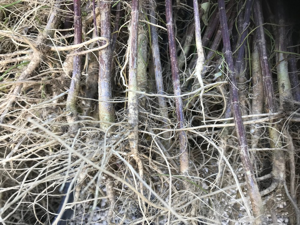 - These are roots from our Abacus that was grown from seed, you can see the promonent tap root.
