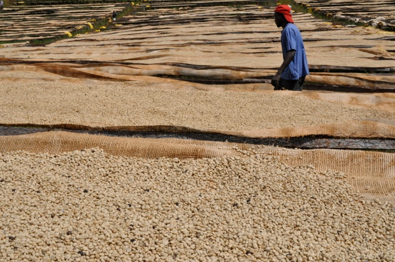 Fields of drying coffee