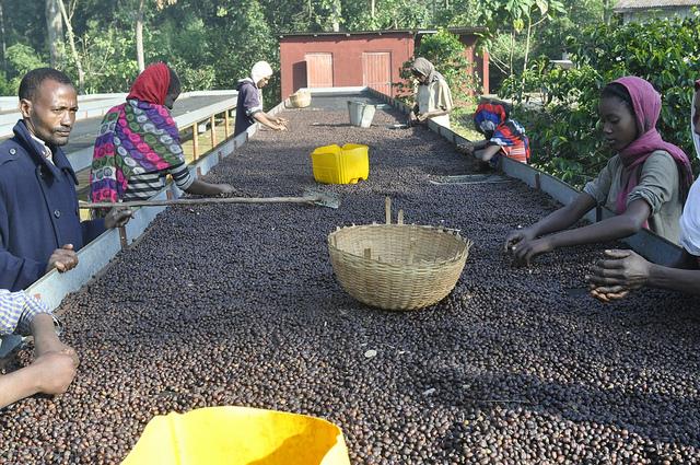 Processing Ethiopian Yirgacheffe