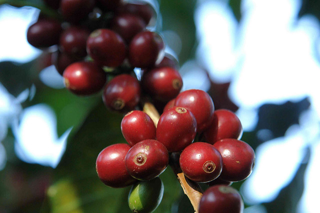 Ripe geisha cherries at La Hacienda Esmeralda
