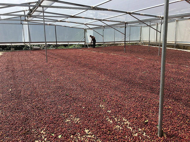 Drying at Finca Elida