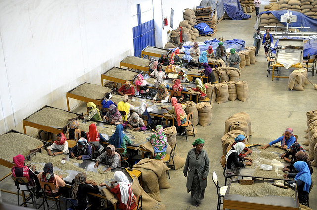 Women pickers in the Moplaco warehouse removing any defective beans from the hulled coffee.