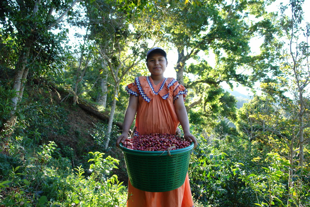 Coffee picker at Finca Elida, Boquete, Panama. Wilford Lamastus, owner of Finca Elida, is a third-generation coffee producer and is one of the most highly regarded coffee farms in Panama, placing 3rd at Best of Panama's 2007 non-geisha competition.