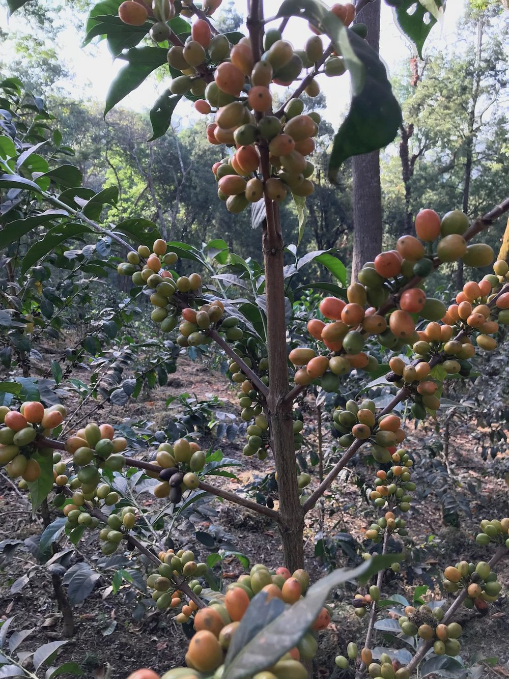 The biodiversity of coffee in Ethiopia is astounding