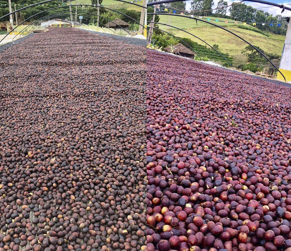 On the left, natural coffees on the drying bed. On the right, anaerobic. Look at the difference in color!