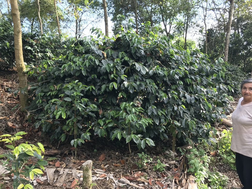 Carmen and her wild typica trees