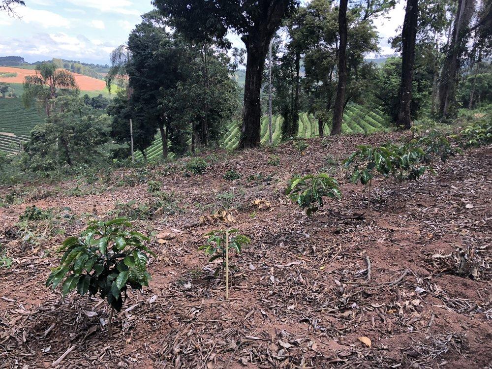 Young Tanzania variety plants, Santuario Sul