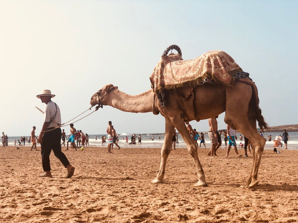 Camel on the beach in Skhirat. Photo credit: J. Miller, Fall 2018