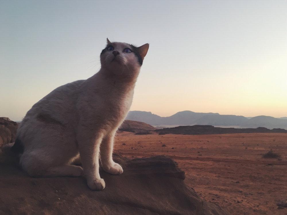 A cat in Wadi Rum! Photo credit: L. McGuire, Fall 2018