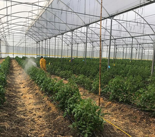 A one hectare greenhouse of organic tomatoes in its second year of no-till.  We are measuring the qualitative difference in soil, plant and fruit from both no-till and tilled soil growing the same tomato cultivars with the same nutrition and fertility program.  Pictured is a biweekly foliar application of one of our custom mineral/microbe extracts.