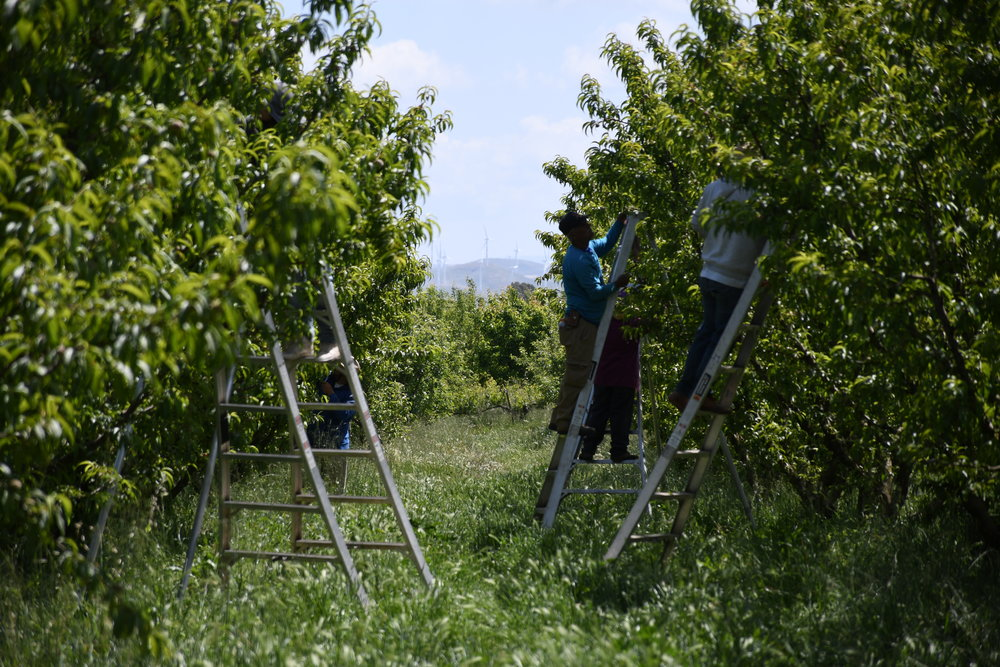 Our tree crew thinning out peach trees last week.