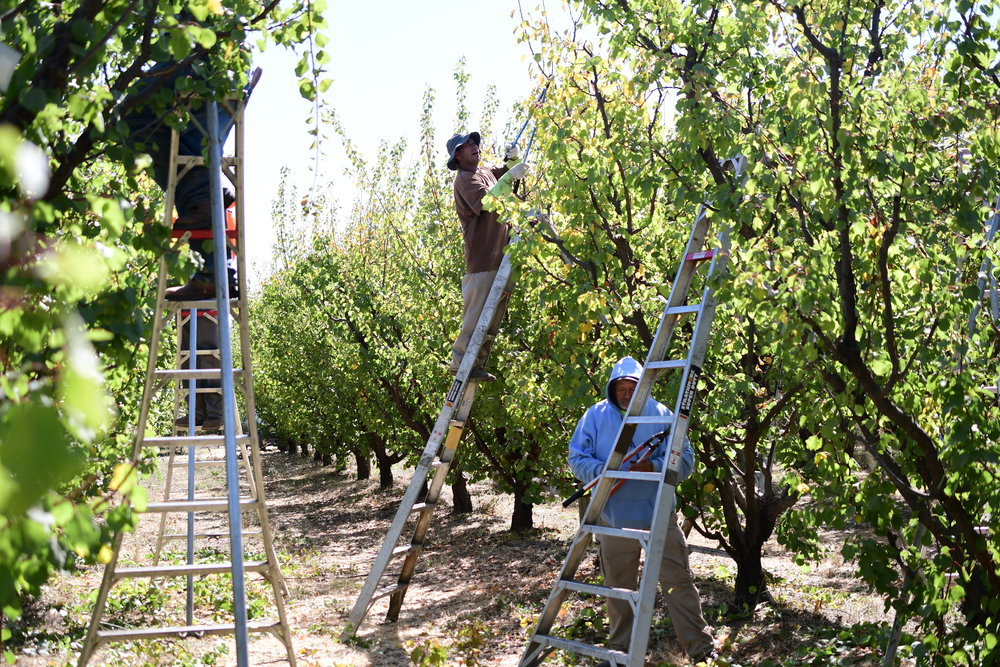 Our Tree Team at work pruning the apricot trees