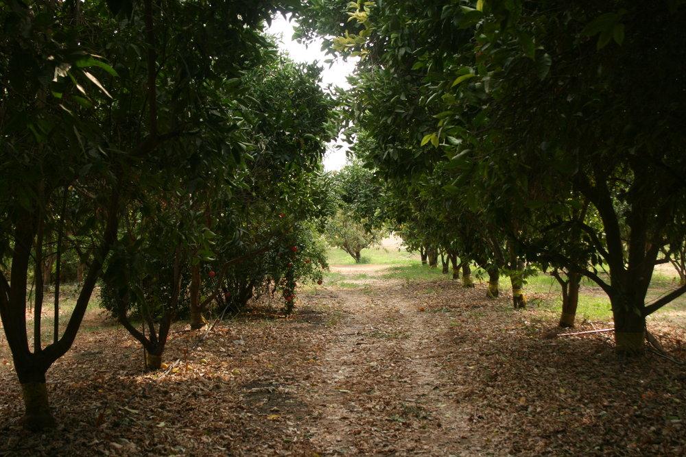 Orchard walk.JPG