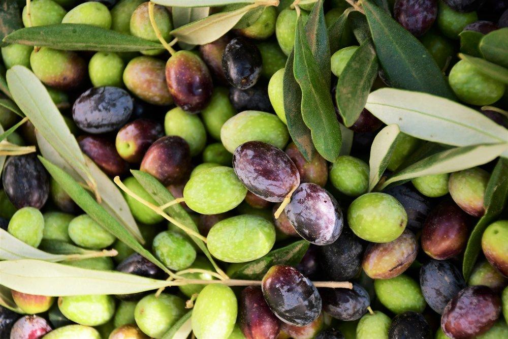 Olive Harvest 2.jpg