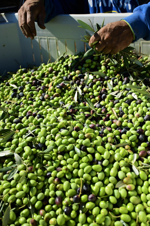 Olive Harvest 6.JPG
