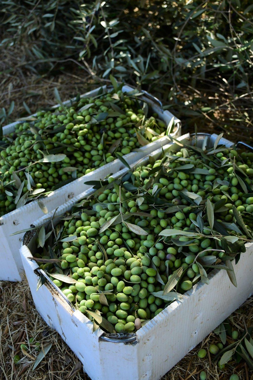 Olive Harvest 8.JPG