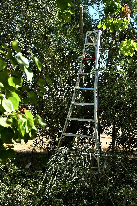 Olive Harvest 1.JPG