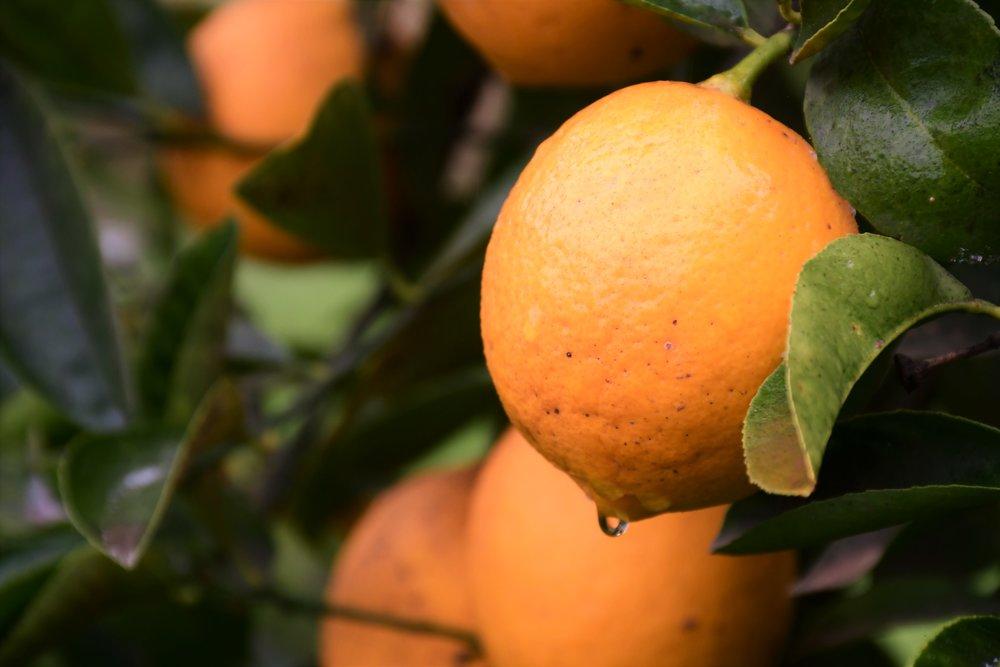 Meyer Lemon tree.jpg