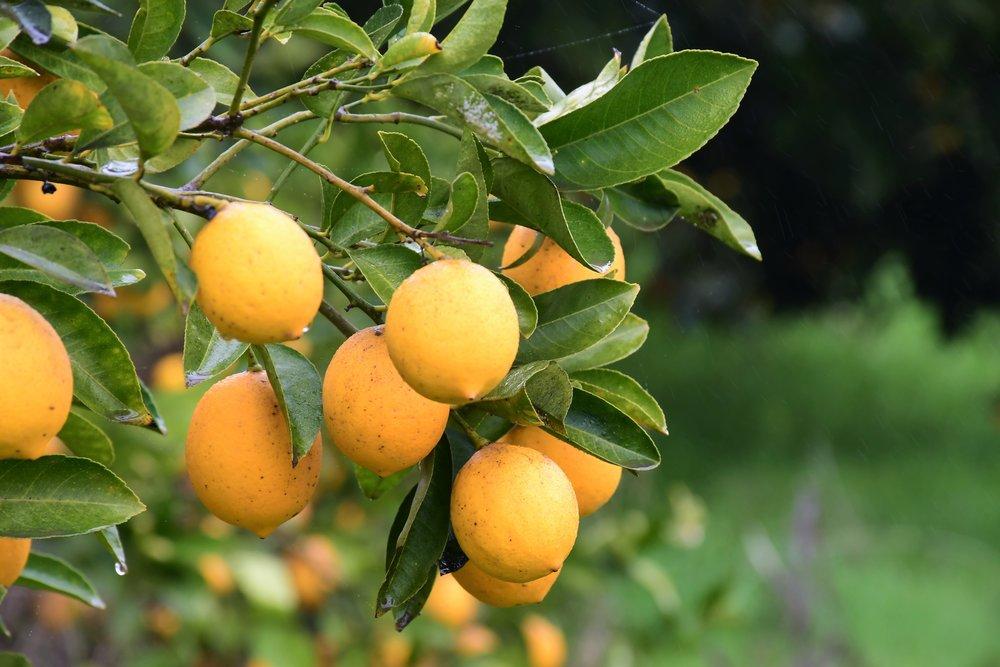 Meyer Lemon Tree 2.jpg
