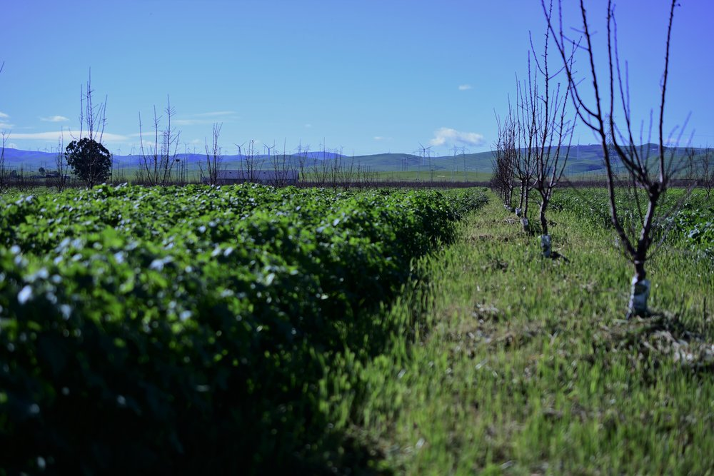 Our organic almond orchard with cover crop.