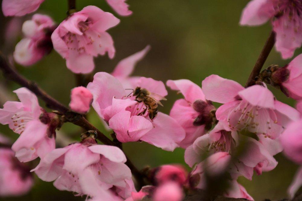 Galaxy Peach Blossom