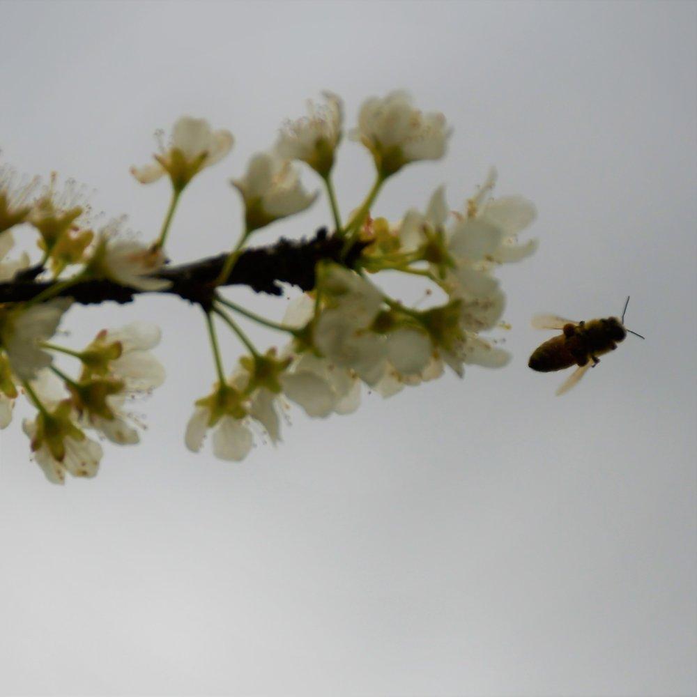Dapple Dandy Bee