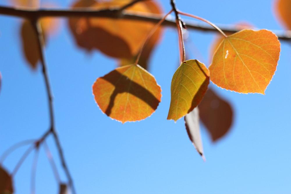 aspen leaves fall autumn crested butte.jpg