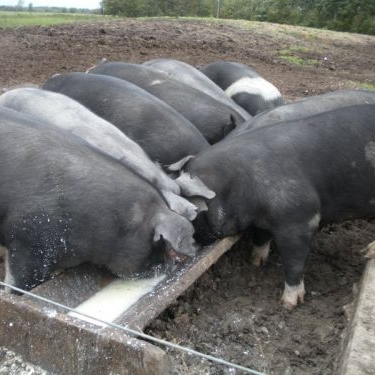 Pigs - During the growing season, our pigs are kept out on pasture where they can graze and forage. We also feed them whey from the cheese-making process and a non-GMO grain ration to round out their diet.