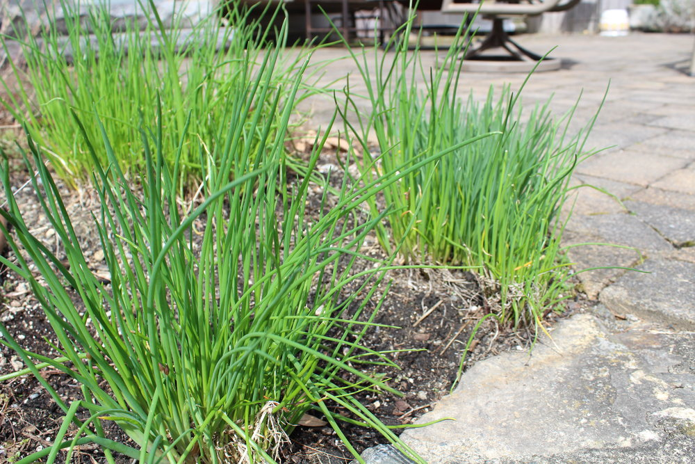 Chives are bright green long before anything else sprouts in the garden