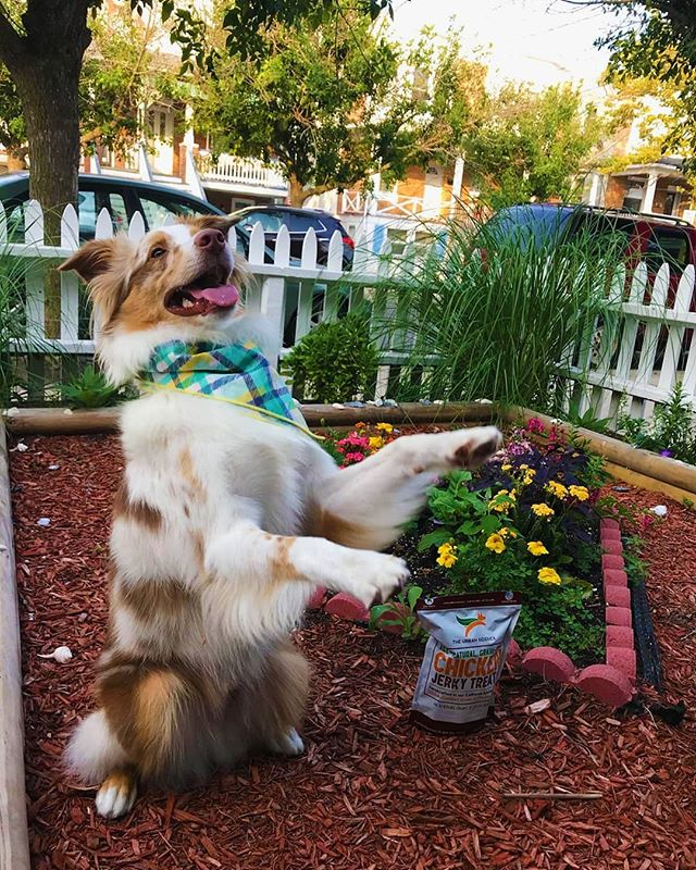 📸: @codytheminiaussie Friday's got us feeling like🕺💃🐕 The family that dances together, stays together. Cue the music (and dog treats)! #friday #happyfriday #aussie #australianshepherd #aussiesofinstagram #theurbansidekick #dogsofinstagram #dogsofinsta #dogstagram #dog #doggy #doggram #pet #pets #instagramdogs #lovedogs #doglover #doggy #dogoftheday #instadog #doglife #dogsofinstaworld #smallbusiness #smallbiz #allnatural #treat #treats