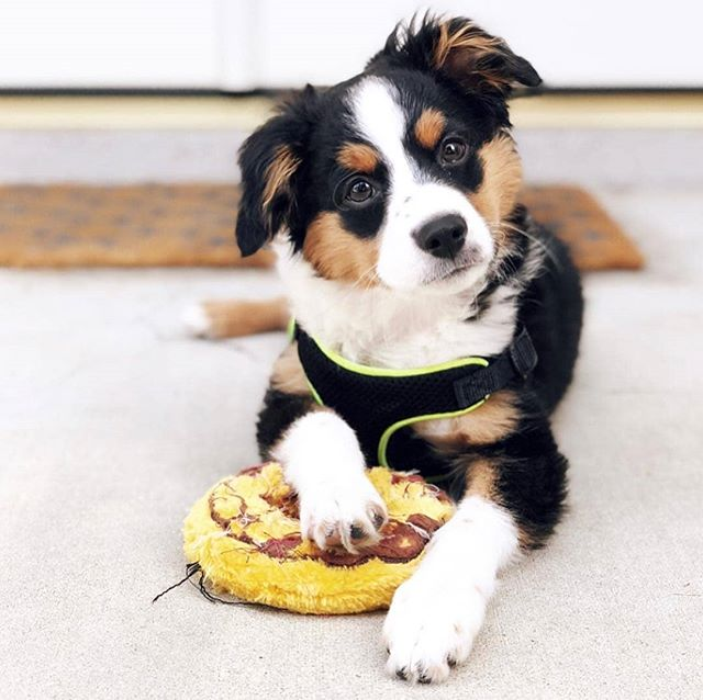 When someone asks for a bite of your food 🙅‍♀️🙅‍♂️ 📸: @kubotheaussiepup #donutlifechoseme #aussie #theurbansidekick #dogsofinstagram #dogsofinsta #dogstagram #dog #doggy #doggram #pet #pets #instagramdogs #lovedogs #doglover #doggy #dogoftheday #instadog #doglife #dogsofinstaworld #australianshepherd #aussiesofinstagram #donut #donuts