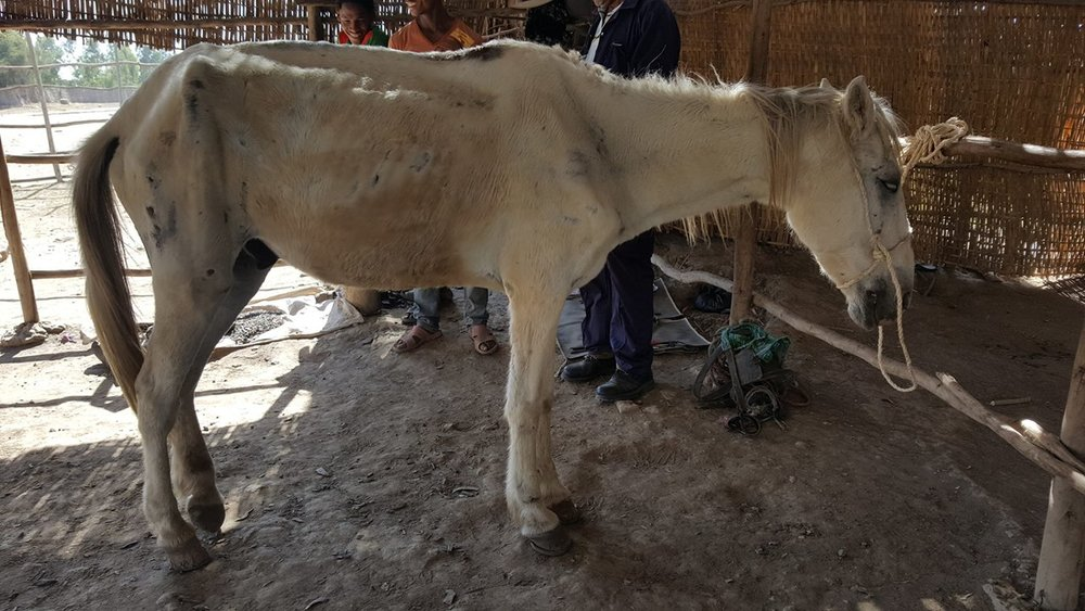 A Gharry horse in Ethiopia. A by law has now been passed with the help of Brooke to help facilitate euthanasia in animals that are no longer fit for work