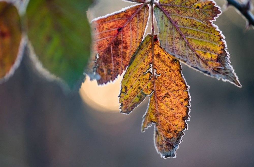 cold leaves.