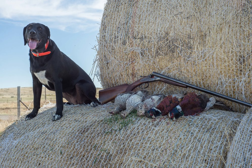 Mixed bag of Sharptail and Pheasant
