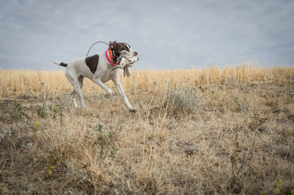 Sharptail retrieve