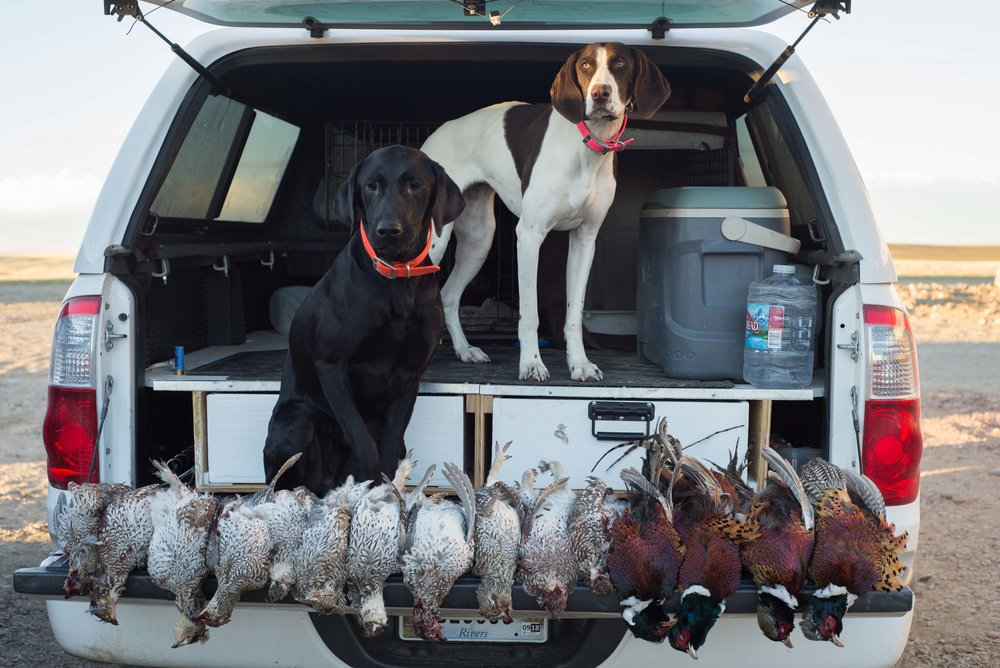 Great day in the field with a mixed bag of Sharptail and Pheasant