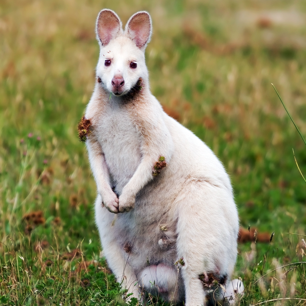WhiteWallabyUpload.png