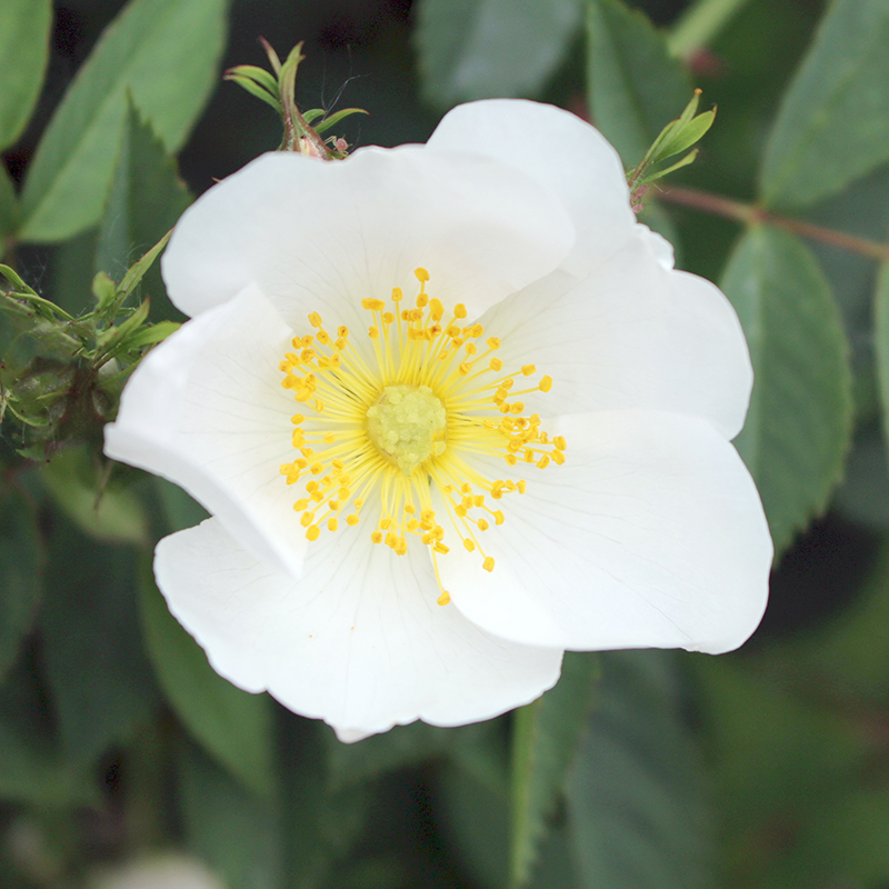 whiterose_01.jpg