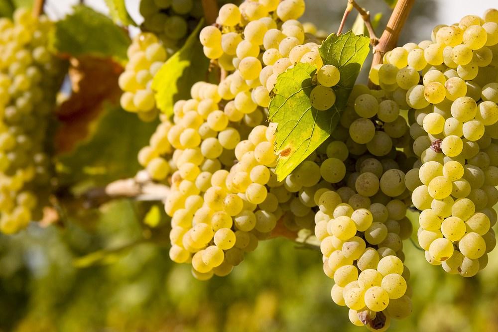 31_Chardonnay_1.jpg