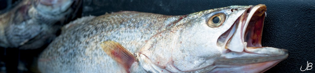weakfish_(1_of_1)-2