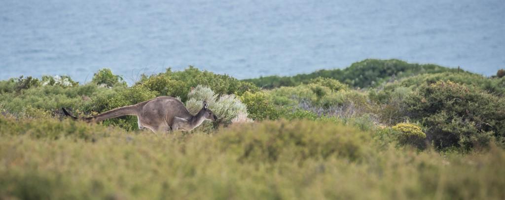 kangaroohop
