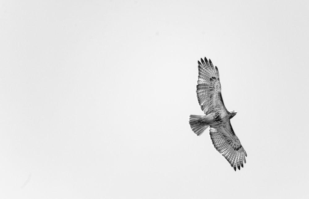 hawk-2.jpg