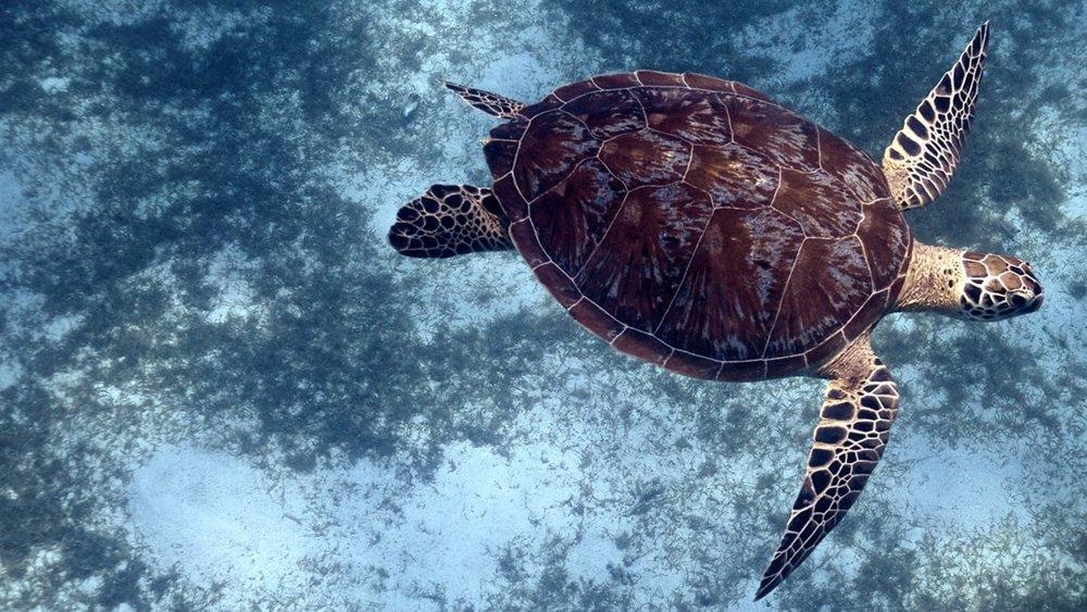 turtle1_1600x900.jpg__1600x900_q85_crop_subject_location-1349,427_subsampling-2.jpg