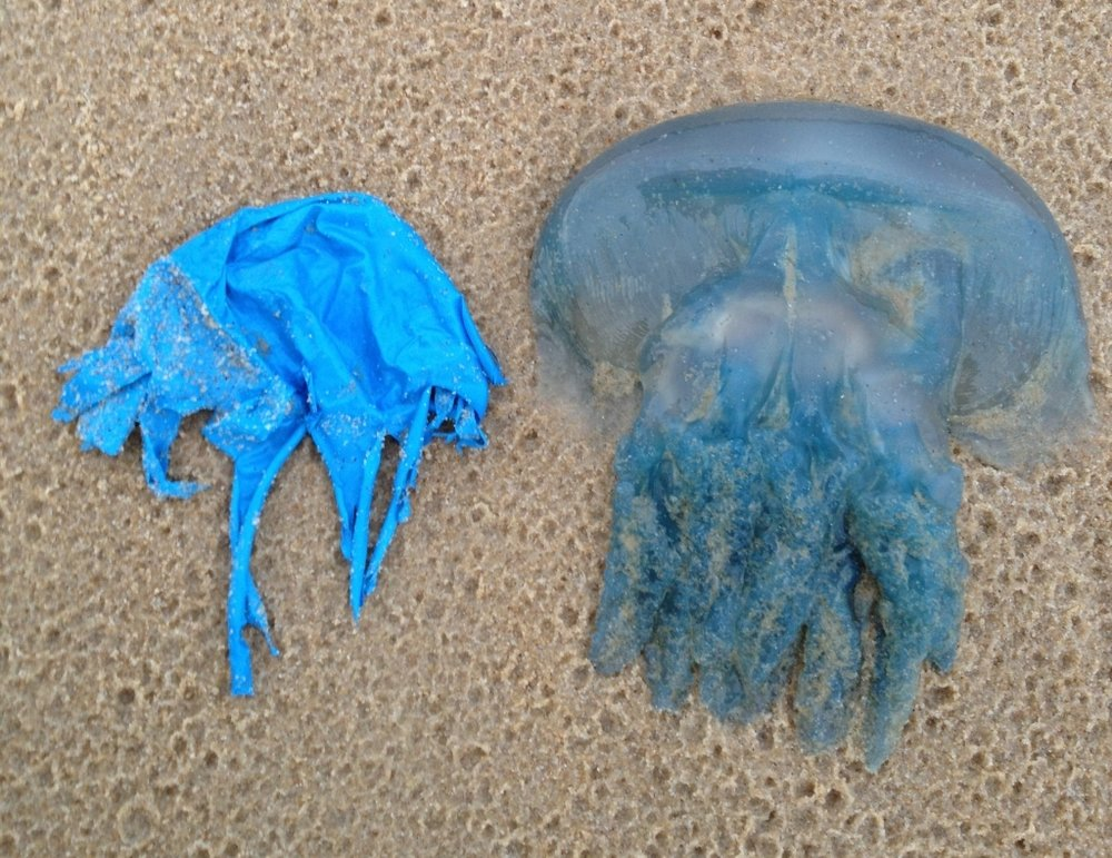 balloon-jellyfish-yaroomba-cropped1.jpg