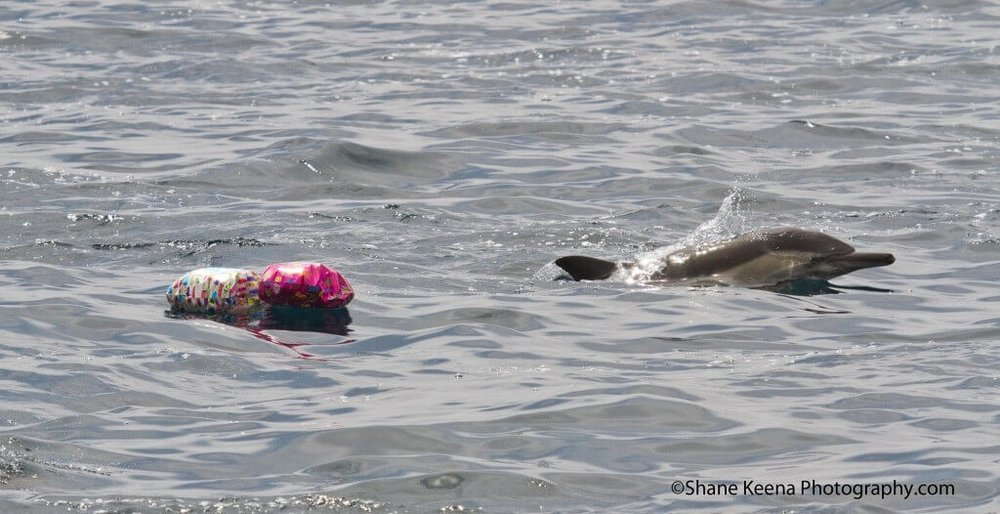 Mylar balloons and a Long beaked common dolphin  Photo Credit: Shane Keena, Dana Point California