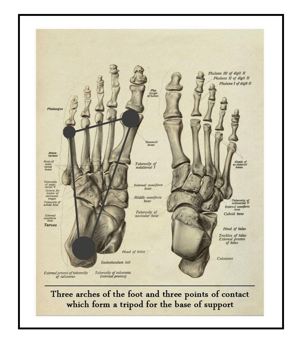 Anatomical foot tripod.jpg