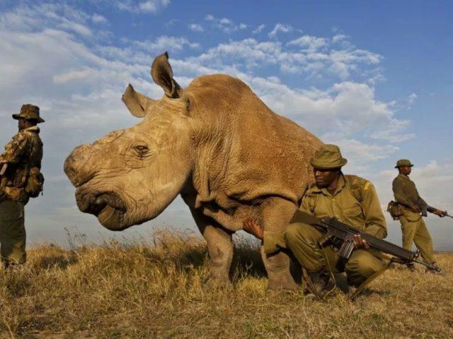 sudan-northern-white-rhino3-640x480.jpg