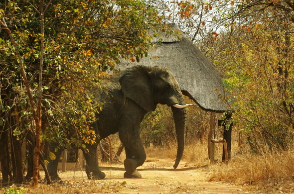 leopard-lodge-elephant-at-entrance-590x390.jpg