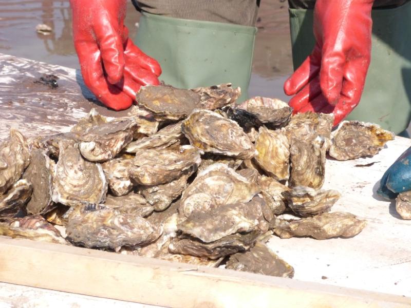 porlock-bay-oysters-farm