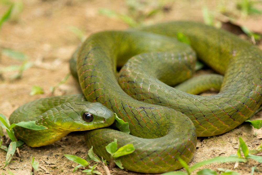erythrolamprus typhlus - velvety swamp snake 2.jpg